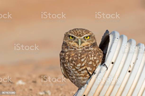 Bird burrowing owl at drainage pipe nest picture id907825380?b=1&k=6&m=907825380&s=612x612&h=xmq m ilisgvmmtrepcr6ekqfdphzvd9sellej2rso4=