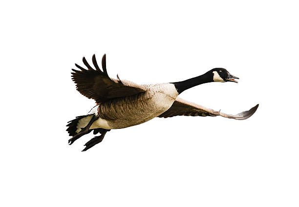 Vogel, Kanadagans im Flug - isoliert auf weiß Kinzigsee, Hessians, Germany - January, 16, 2016: flying Canada goose before white background exempt  canada goose stock pictures, royalty-free photos & images