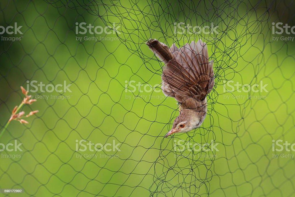 Bird caught on net stock photo