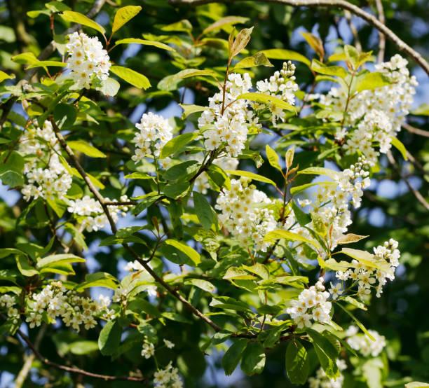 Bird Cherry (Prunus padus) bloesem foto