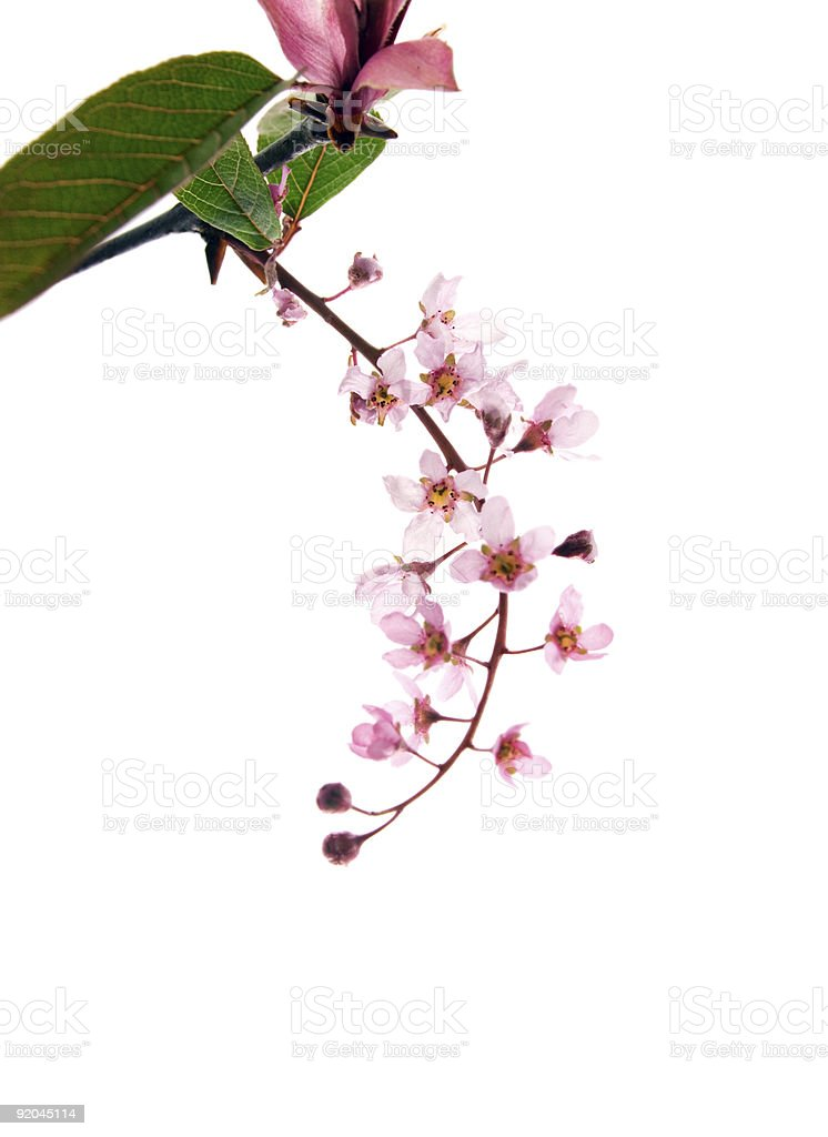 Bird Cherry blossoms royalty-free stock photo