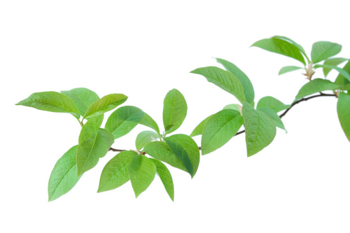 Bird cherry (Prunus padus) branch isolated on white background. Focus on foreground leaves.