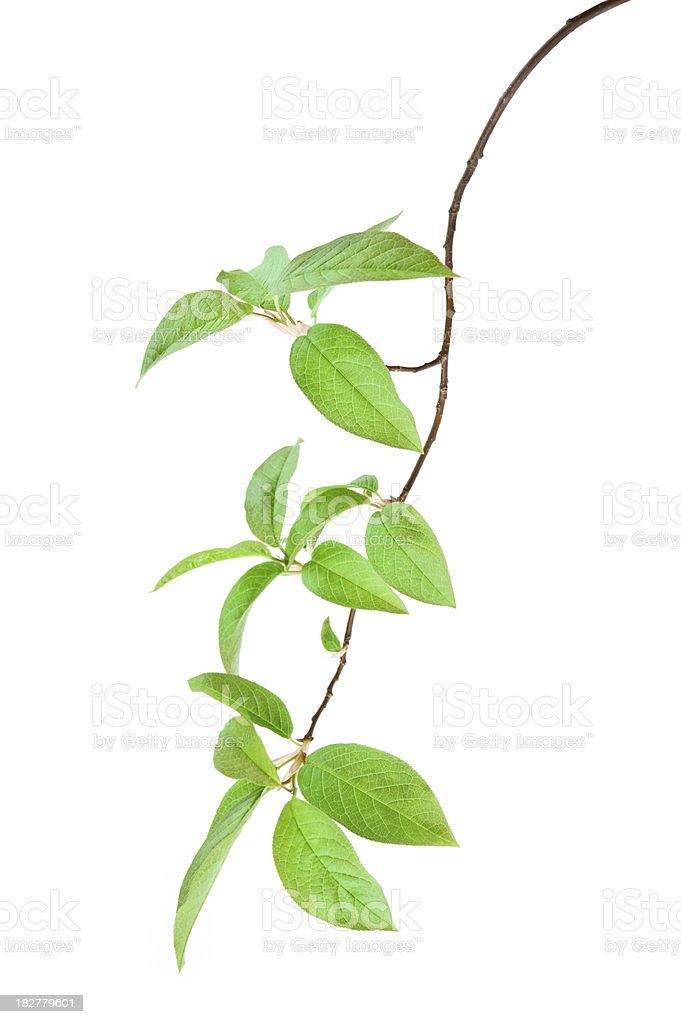 Bird cherry branch royalty-free stock photo