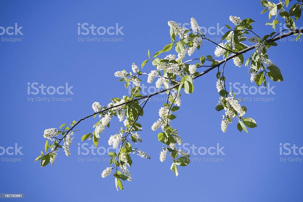 Bird cherry branch stock photo