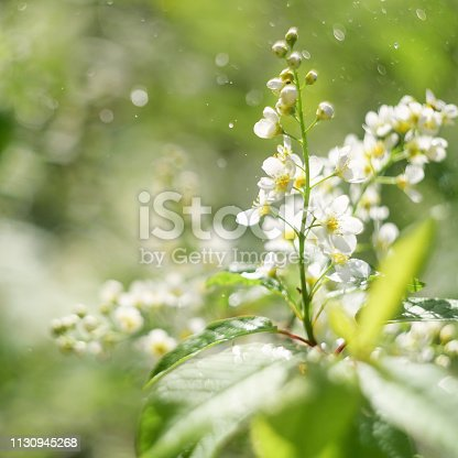 The buds that bloom on the tree Prunus padus, known as bird cherry, hackberry, hagberry, or Mayday tree. The first flowers on the trees in spring. Honey and herbs Europe