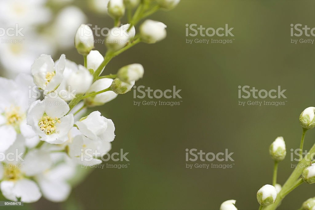 Bird cherry flowers royalty-free stock photo