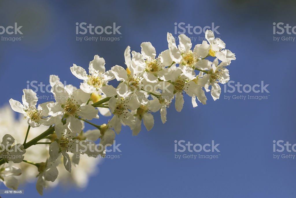 bird cherry in spring royalty-free stock photo