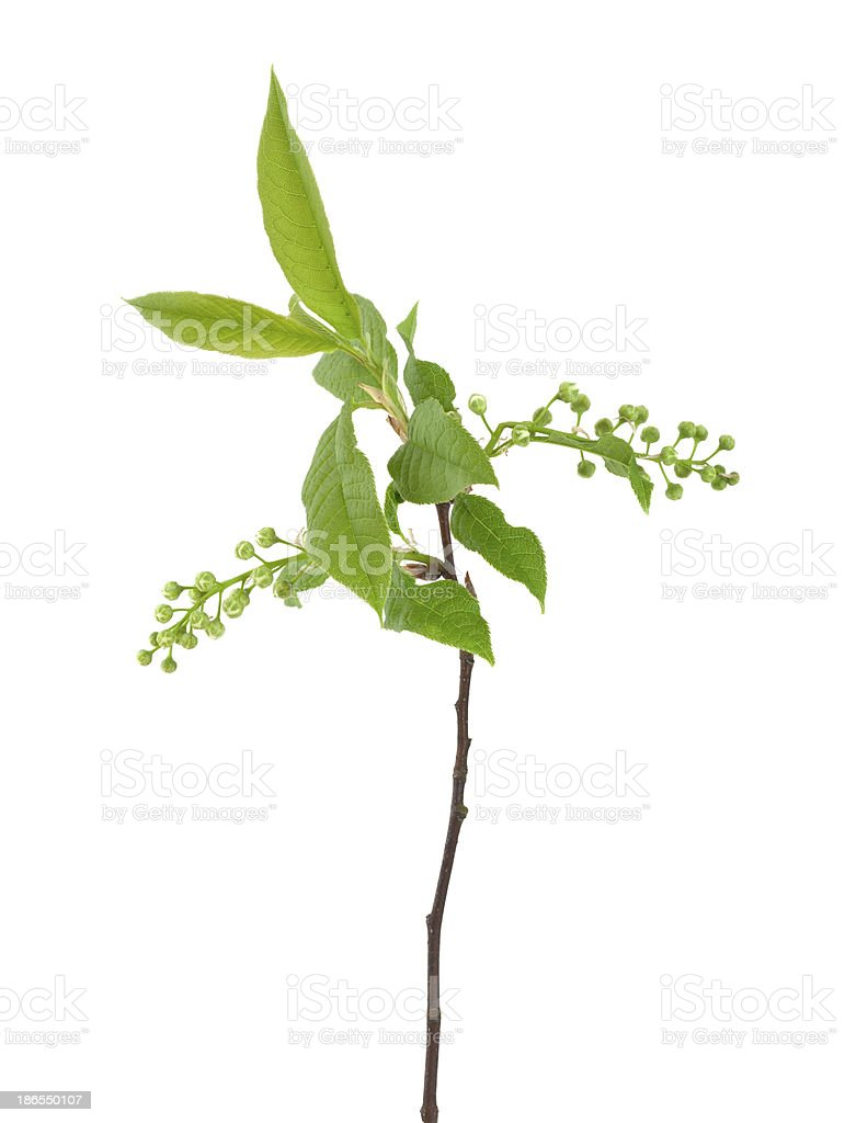 Bird Cherry Stem With Buds Isolated On White Background