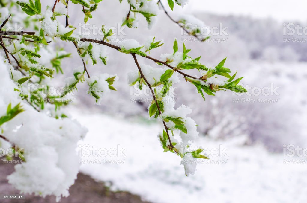 bird cherry tree branch with young leaves snow-covered. abnormal weather in the spring - Royalty-free Beauty Stock Photo