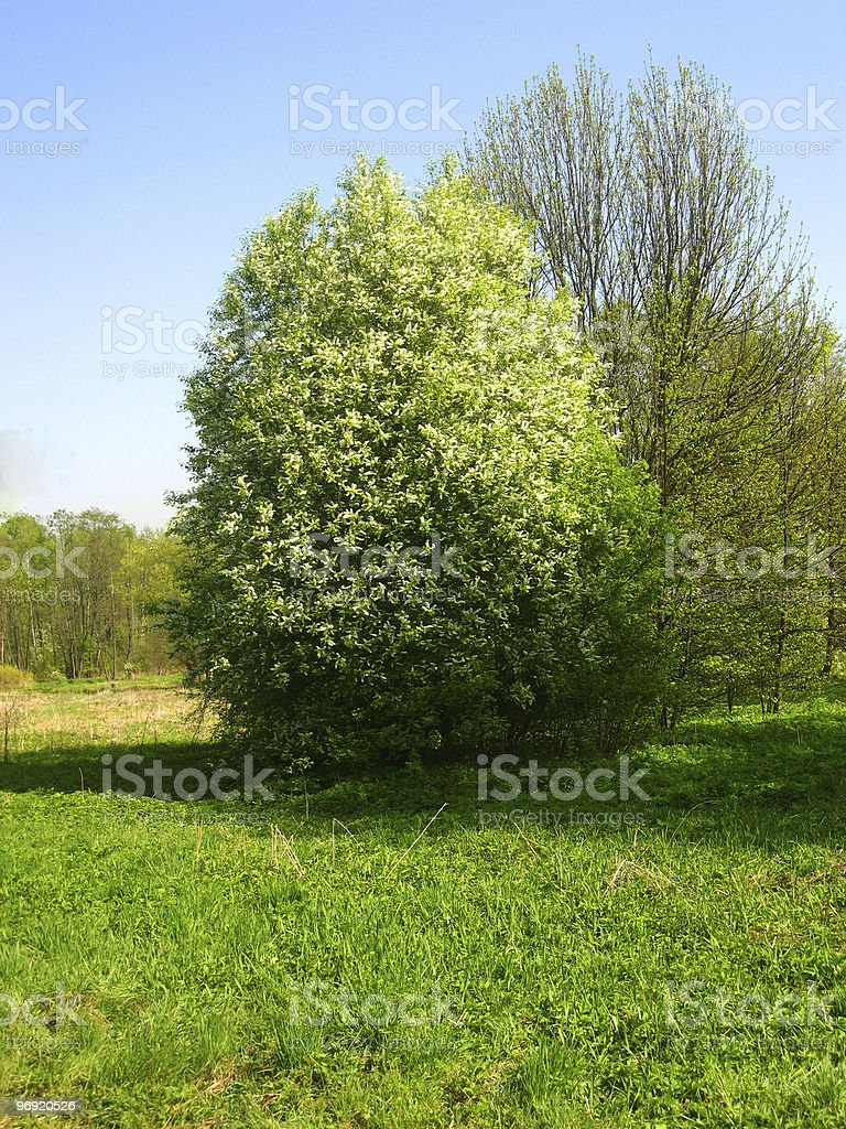 Bird cherry tree in blossom royalty-free stock photo