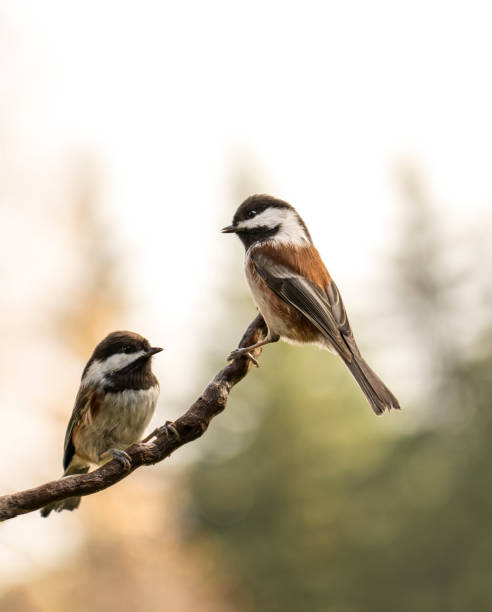 Bird conversations Two chickadees sitting on a tree branch with trees blurred in the background. chickadee stock pictures, royalty-free photos & images