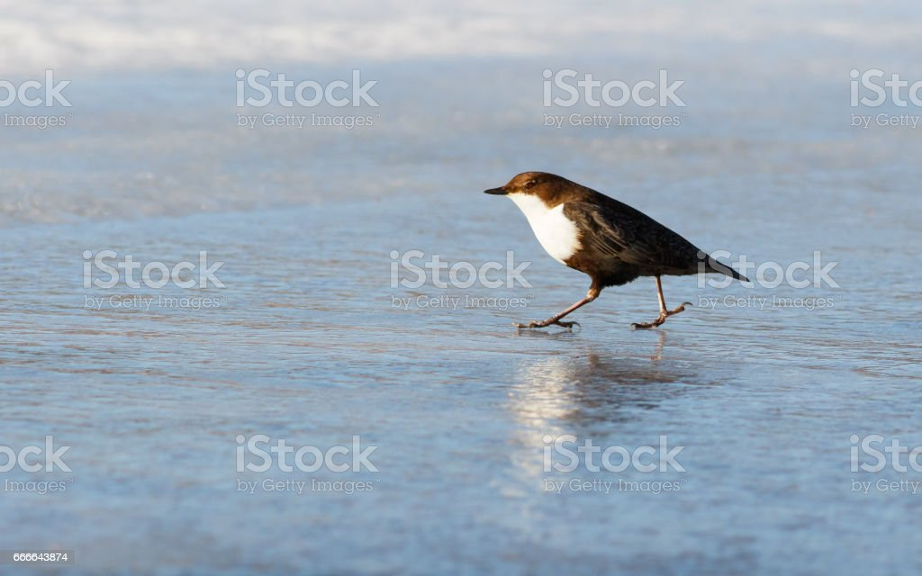 Bird Dipper is walking on ice stock photo