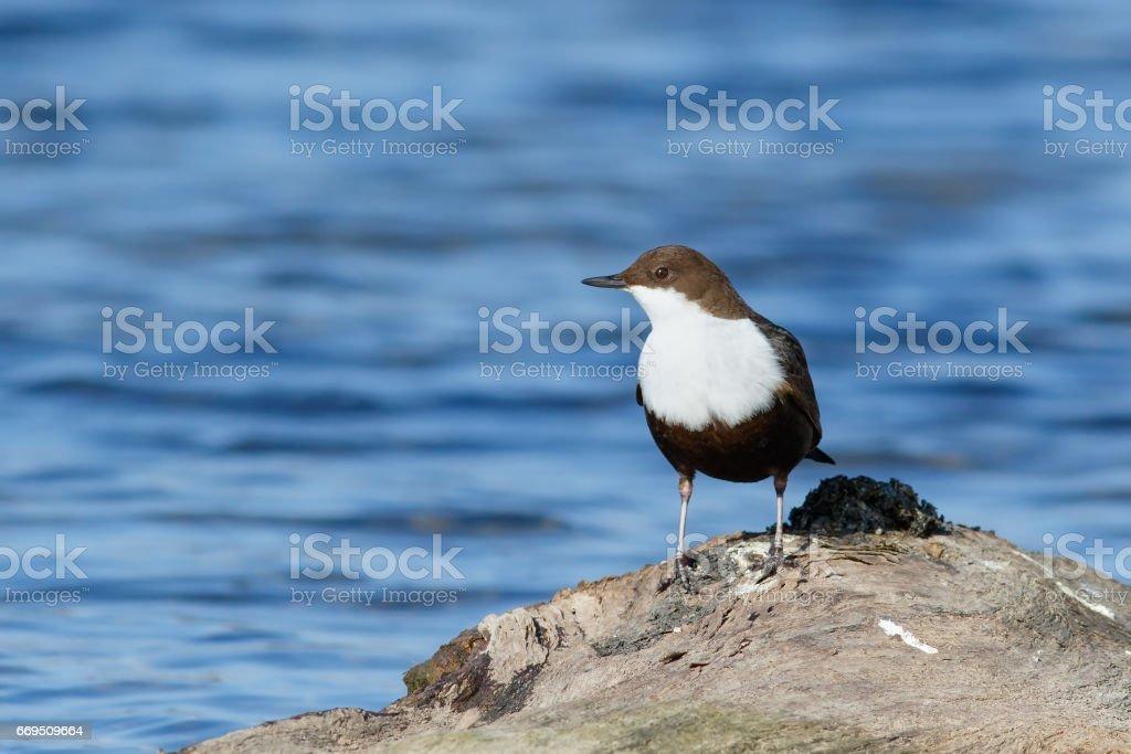 Bird Dipper sitting on the driftwood stock photo