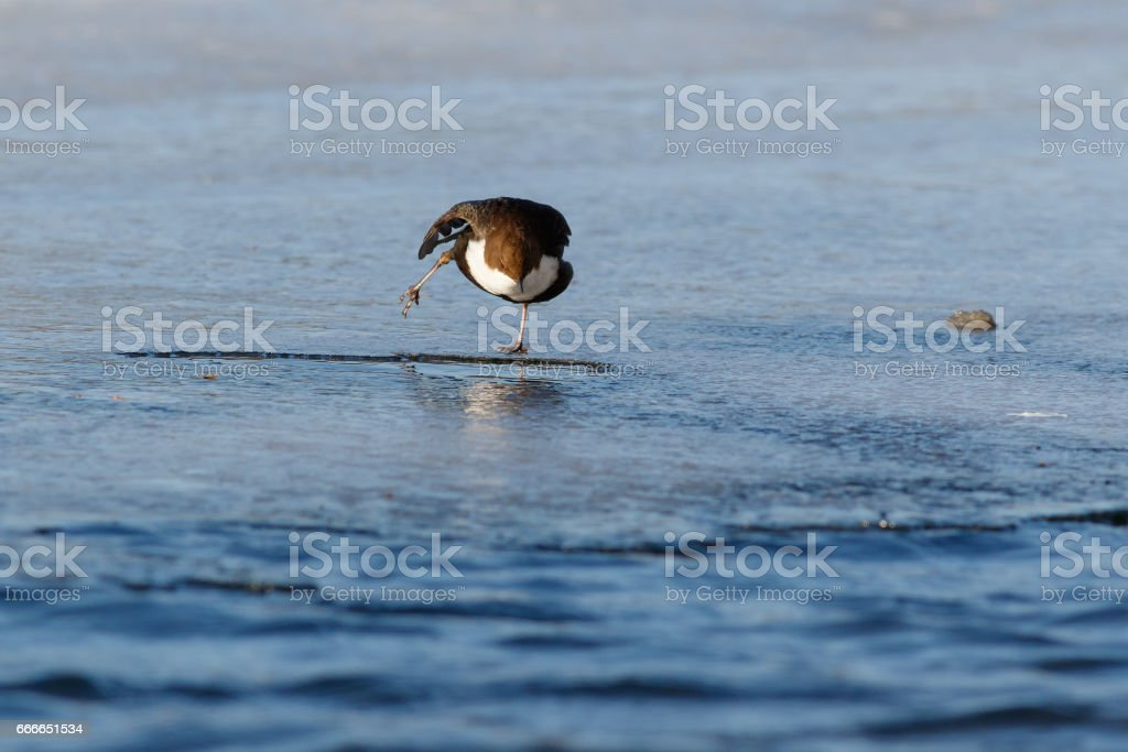 Bird Dipper staying on ice on one foot near water stock photo