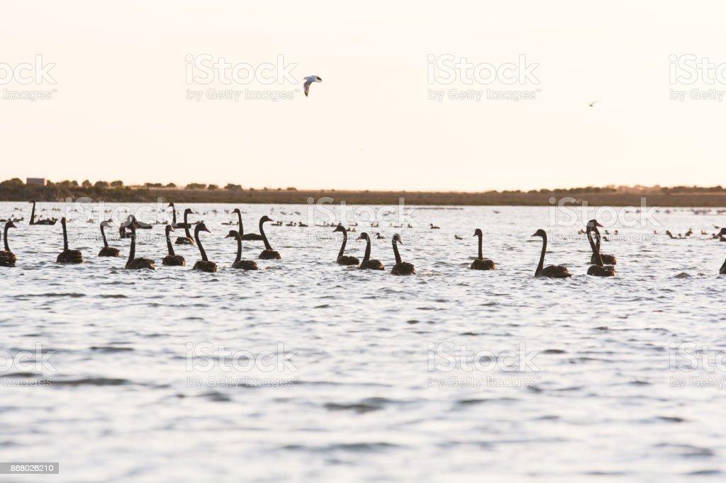 Bird Diversity From South Australias Ramsar Coorong Stock Photo