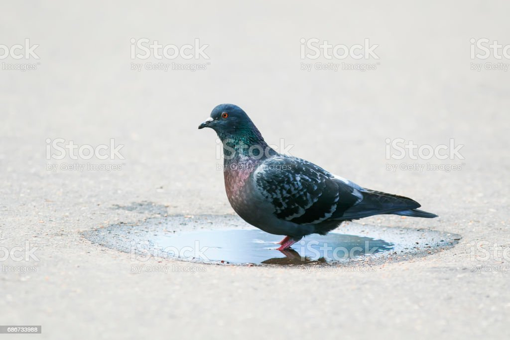 bird dove is funny and bathed in a small puddle stock photo