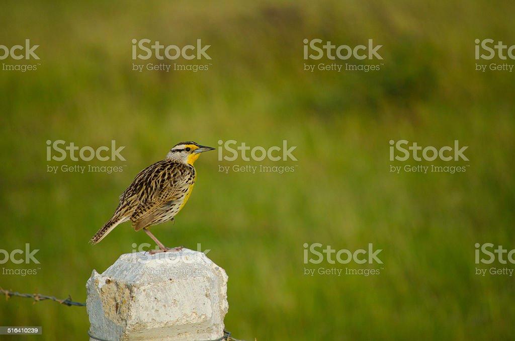 Bird - Eastern Meadowlark stock photo