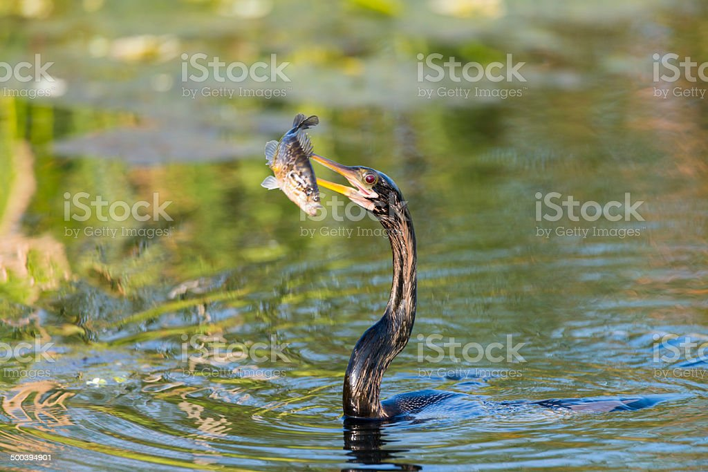 Bird eating a fish stock photo