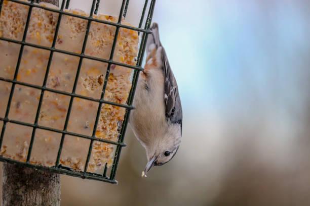 Bird Eating Suet stock photo