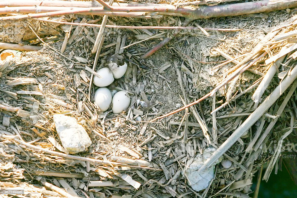 Bird eggs in nest stock photo