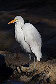 Egret along lake shore