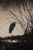 Great egret standing at lake shore