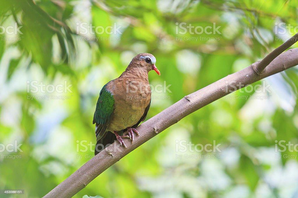 Bird Emerald Dove chalcophaps indica Thailand royalty-free stock photo