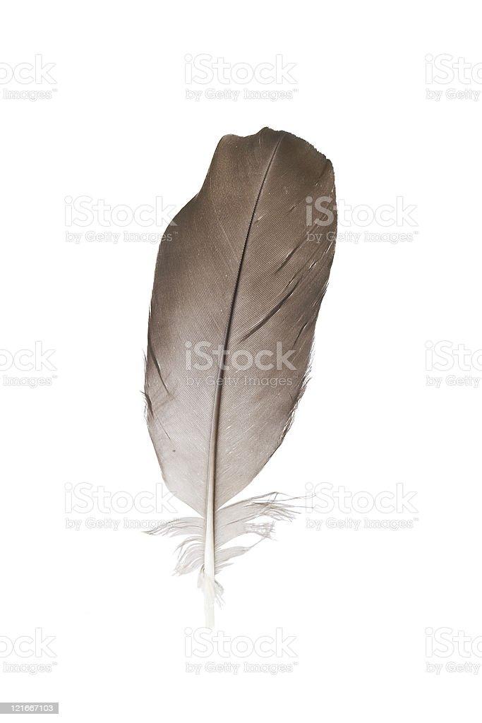 Bird feather isolated on white background royalty-free stock photo