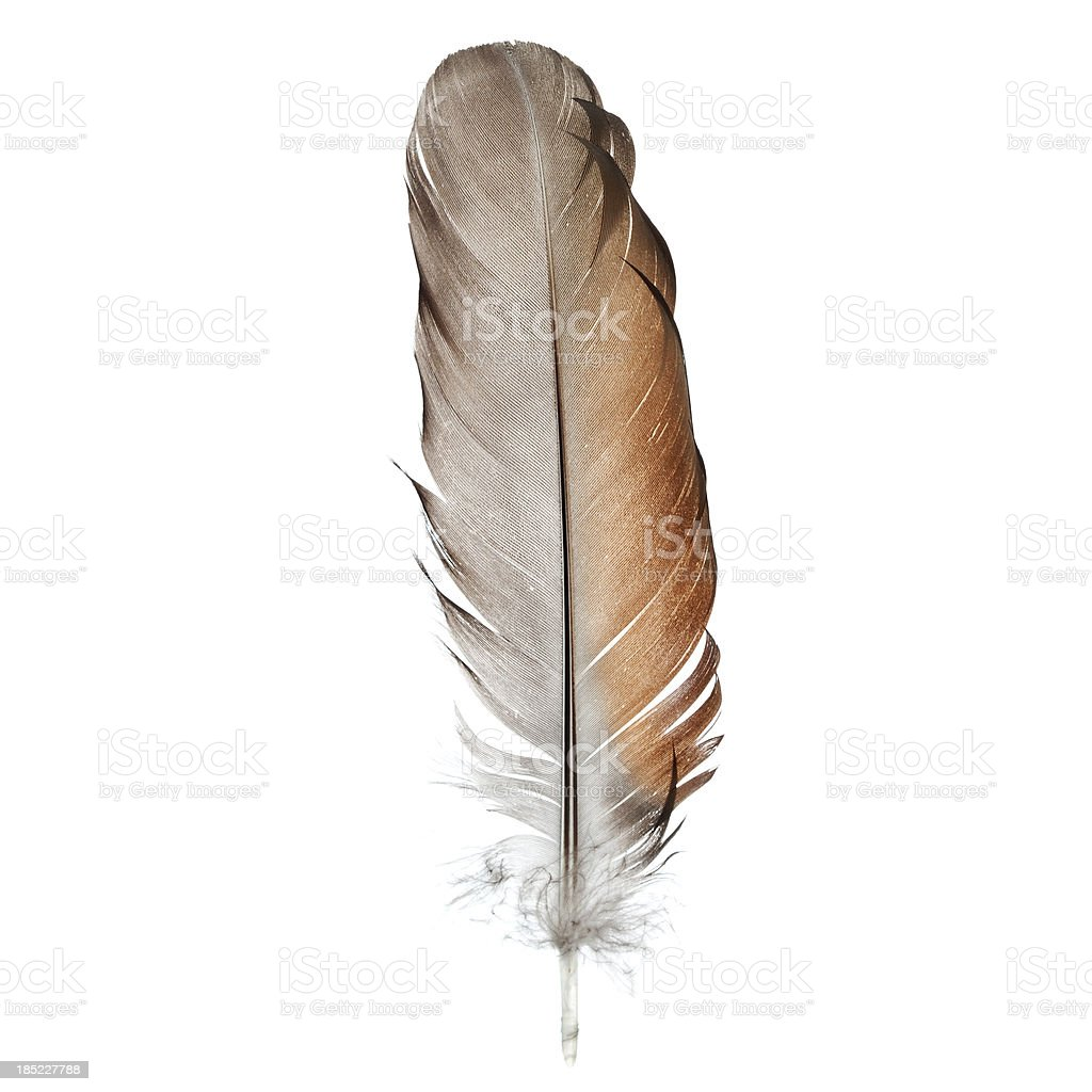 Bird feather, isolated on white - close-up stock photo