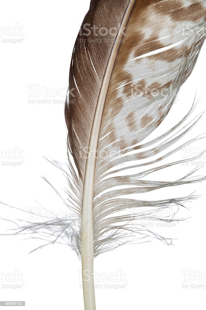 Bird feather, isolated on white - close-up royalty-free stock photo