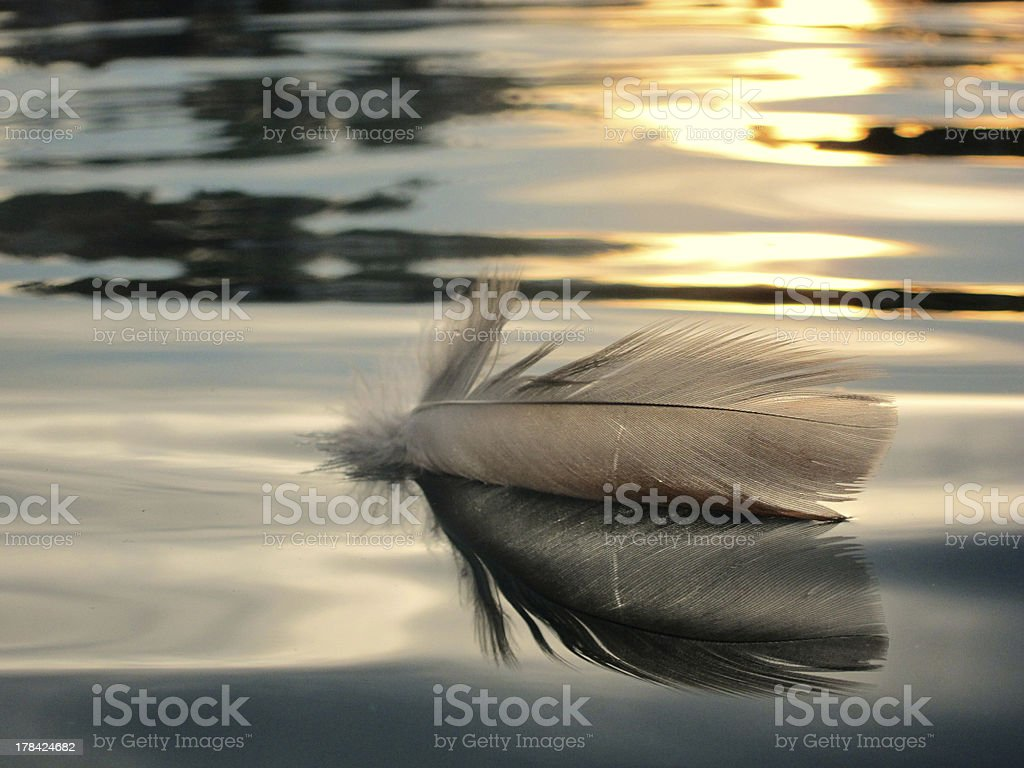bird feather on water royalty-free stock photo