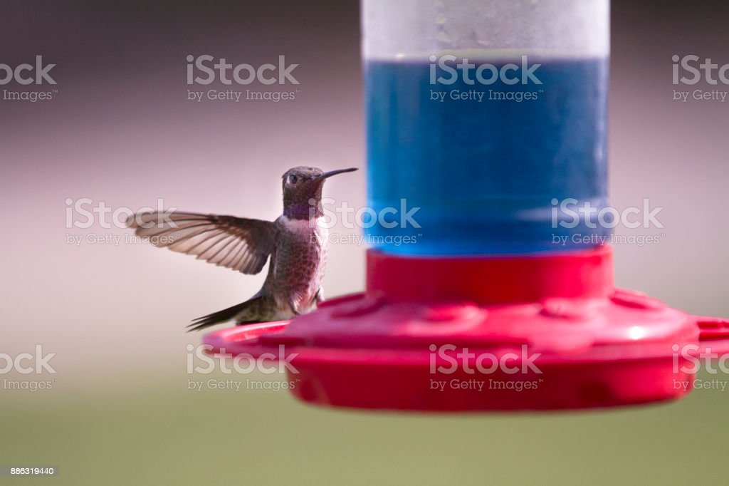 bird feeding on nectar stock photo