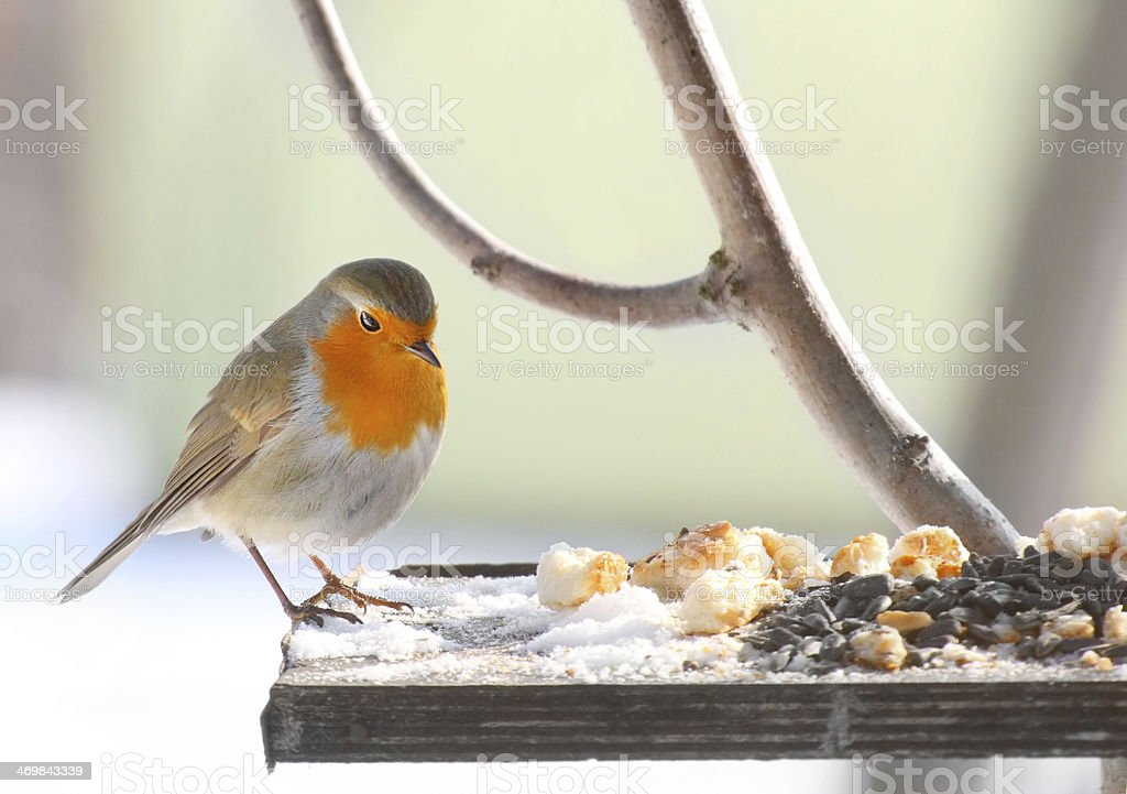 Bird feeding. stock photo