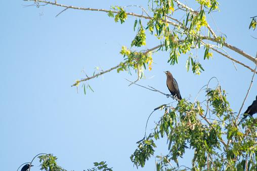Bird female Great-tailed Grackle Zanate Negro Mexicano