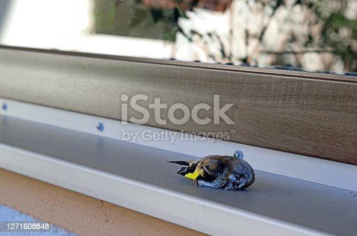 istock A bird flew against a window pane and died. Death of birds through glass panes 1271608848