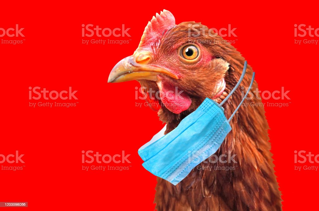 Bird flu H5N1 in China concept with chicken portrait and medical protective mask. Bird flu H5N1 in China concept with chicken portrait and medical protective mask. Animal Head Stock Photo