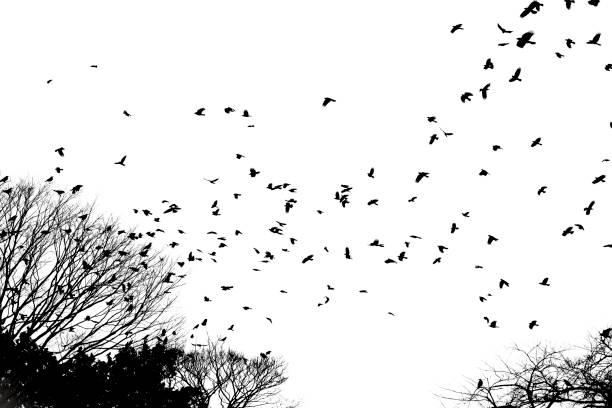 vogel fliegen isolierten auf weißen hintergrund - saatkrähe stock-fotos und bilder