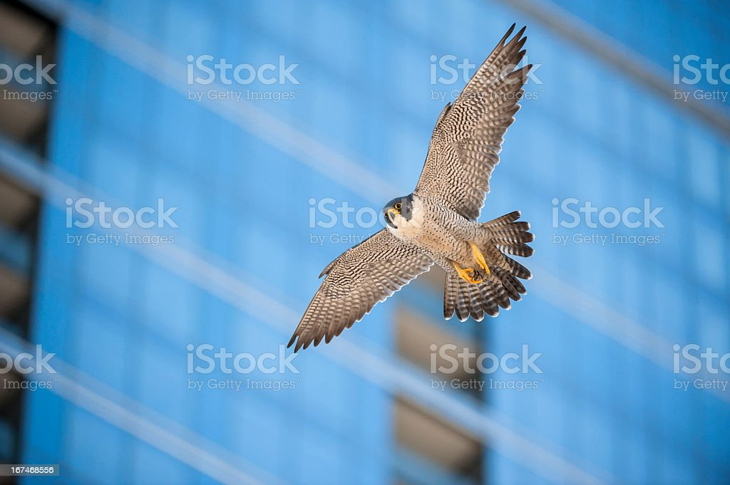 A bird flying through a city in front of a blurred building stock photo