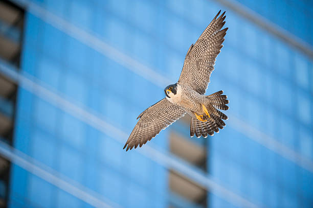 a bird flying through a city in front of a blurred building - falcon bird stock photos and pictures