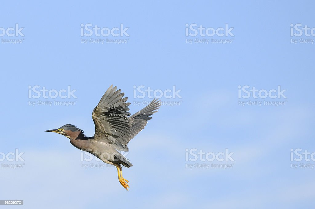 Bird Flying, Wings Spread (Green Backed Heron) royalty-free stock photo