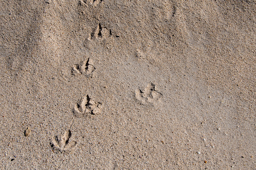 Close up of bird footprints on a beach of Santa Cruz Island in the Galapagos
