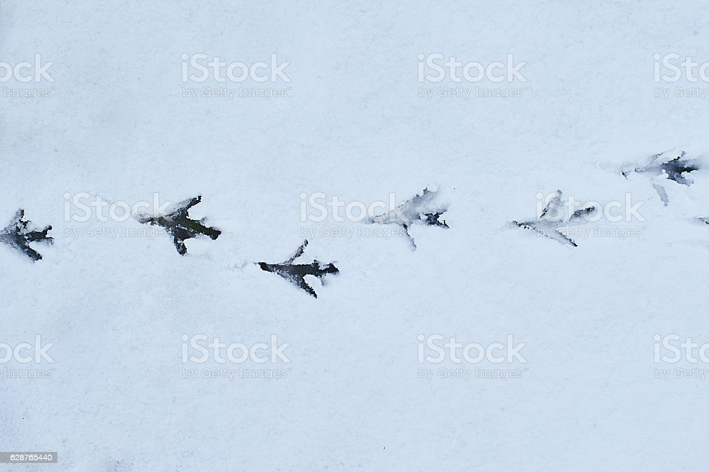 Bird footsteps on the snow tracking the path stock photo