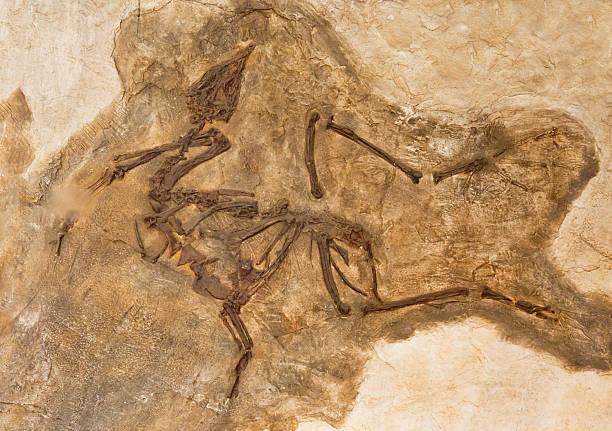 Bird fossil – Foto