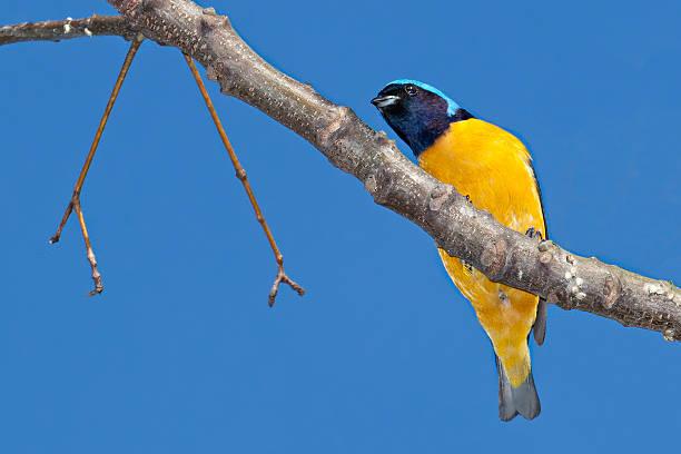 Bird Golden-rumped Euphonia – Foto