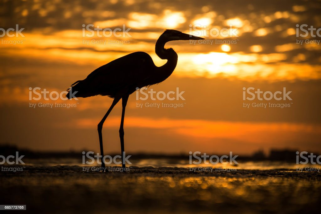 Bird Great Blue Heron at the sunset royalty-free stock photo