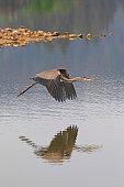 Great blue heron flying above California lake