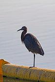Heron at Orange County wetlands