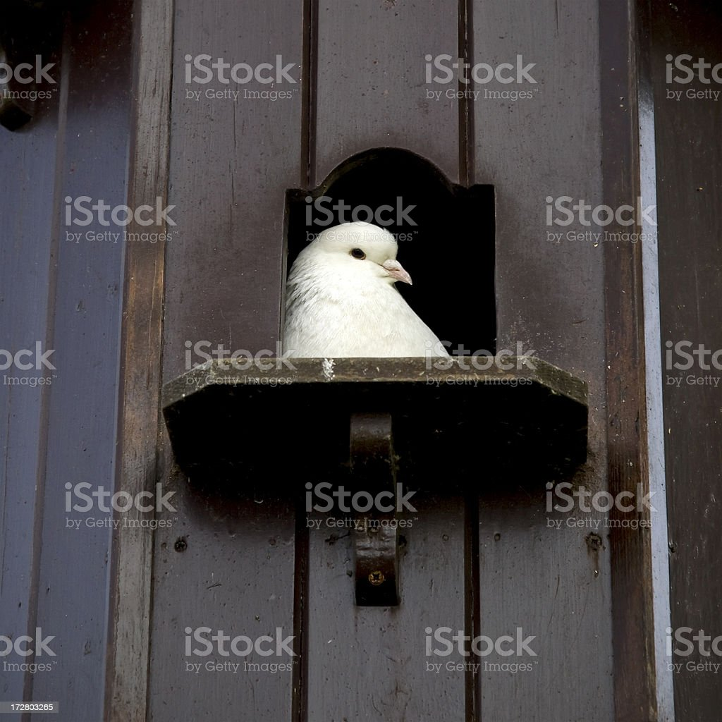 Bird house with white dove looking out royalty-free stock photo