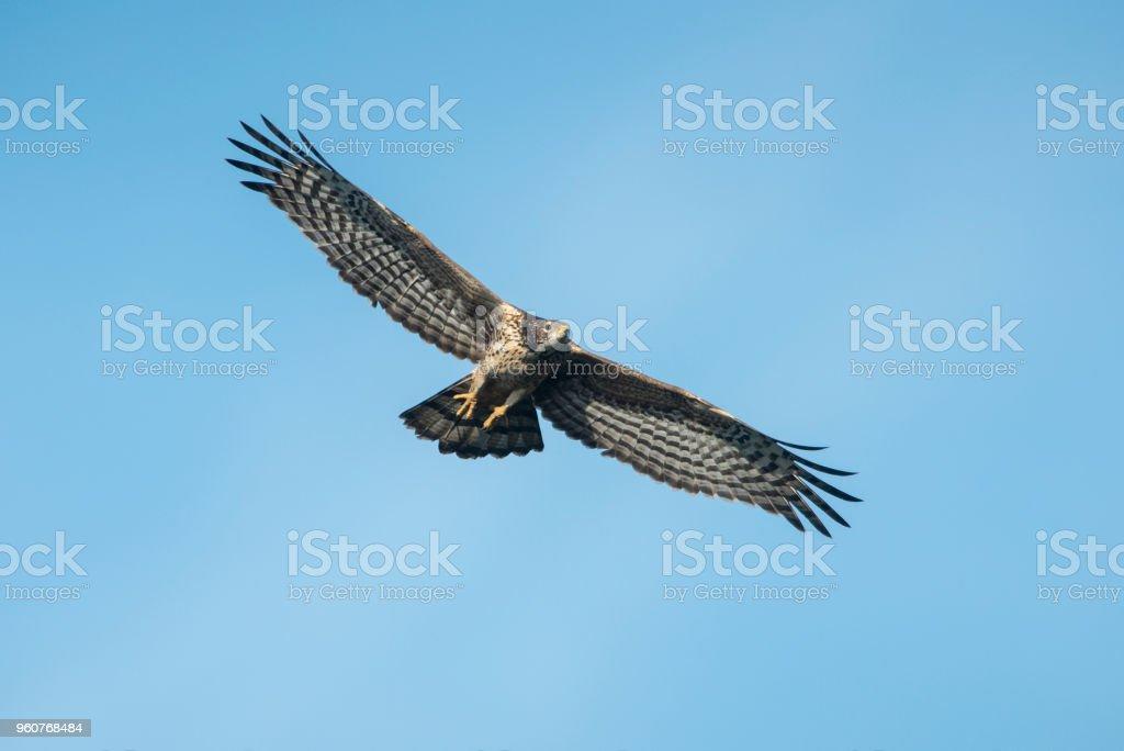 Bird hunter ,Oriental Honey-Buzzard flying on blue sky stock photo