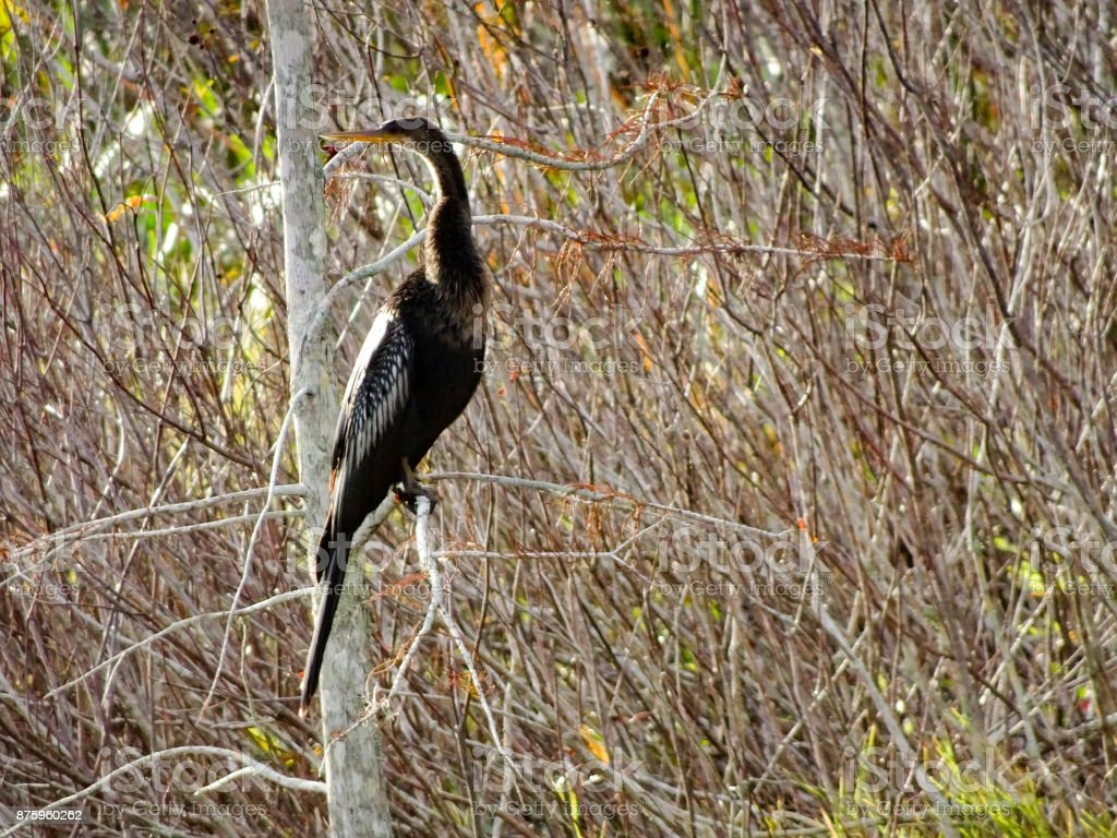 bird hunting in the marsh stock photo